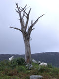 Dead Tree and Sheep. A dead, lifeless tree and some sheep Stock Image