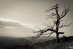 Dead Tree at Shenandoah National Park, Virginia Royalty Free Stock Images