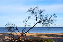 Dead Tree at the shore. Deadwood at white sand shore Royalty Free Stock Photo