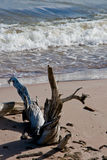 Dead tree at the shore Royalty Free Stock Image