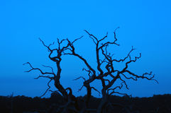 Dead tree silhouette. Silhouette of a dead tree, with a blue sunset sky in the background Stock Image