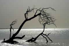 Dead tree silhouette. Cap Skirring, Senegal Royalty Free Stock Image