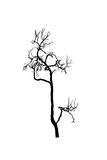 Dead tree silhouette.  dry oak crown without leafs isolated on white Royalty Free Stock Photo