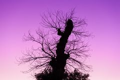 Dead tree silhouette over violet dawn sky Stock Photos