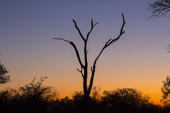 Dead tree silhouetted against a colorful blue and orange sky 1 Stock Photography
