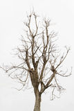 Dead tree ,Single old and dead tree isolated on white background. Royalty Free Stock Images