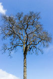 Dead tree with sky. Dead tree with blue sky Royalty Free Stock Photo