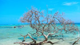 Dead Tree on Sombrero Cay. On the beach in Morrocoy National Park, Venezuela Royalty Free Stock Image