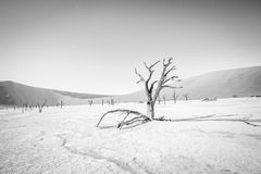 Dead tree in Sossusvlei in black and white. Dead tree in black and white in Sossusvlei desert in Nambia Royalty Free Stock Photography