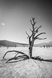 Dead tree in Sossusvlei in black and white. Dead tree in black and white in Sossusvlei desert in Nambia Stock Photos