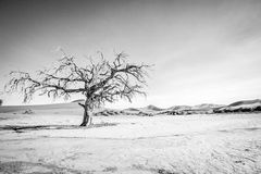Dead tree in Sossusvlei in black and white. Dead tree in black and white in Sossusvlei desert in Nambia Stock Image
