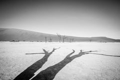 Dead tree in Sossusvlei in black and white. Dead tree in black and white in Sossusvlei desert in Nambia Royalty Free Stock Images