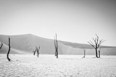 Dead tree in Sossusvlei in black and white. Dead tree in black and white in Sossusvlei desert in Nambia Royalty Free Stock Image