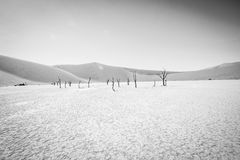 Dead tree in Sossusvlei in black and white. Royalty Free Stock Image