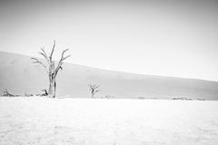 Dead tree in Sossusvlei in black and white. Royalty Free Stock Images