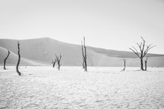 Dead tree in Sossusvlei in black and white. Dead tree in black and white in Sossusvlei desert in Nambia Stock Photography