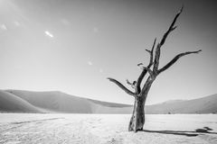Dead tree in Sossusvlei in black and white. Royalty Free Stock Photo
