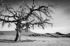 Dead tree in the Sossusvlei desert. Dead tree in black and white in the Sossusvlei desert, Namibia Royalty Free Stock Photography