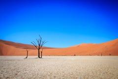 Dead tree in Sossusvlei desert. Dead tree in Sossusvlei in Namibia Stock Photo