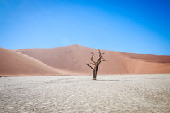 Dead tree in Sossusvlei desert. Dead tree in Sossusvlei in Namibia Stock Photography