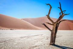 Dead tree in Sossusvlei desert. Dead tree in Sossusvlei in Namibia Stock Photos