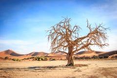 Dead tree in the Sossusvlei desert. Dead tree in the Sossusvlei desert, Namibia Royalty Free Stock Photography
