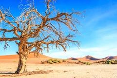 Dead tree in the Sossusvlei desert. Stock Image