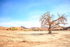 Dead tree in the Sossusvlei desert. Dead tree in the Sossusvlei desert, Namibia Stock Photography