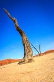 Dead tree in the Sossusvlei desert. Stock Photos