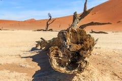 Dead tree in the Sossusvlei desert. Royalty Free Stock Images