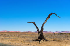 Dead tree in Sossusvlei dunes, Namibia. Dead tree in Namib desert in Sossusvlei dunes, Namibia Royalty Free Stock Photos