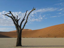 Dead tree  Sossusvlei , Namibia. A 600 year old dead Acacia tree stands in the middle of the dry pan at Sossusvlei Namibia Royalty Free Stock Photography