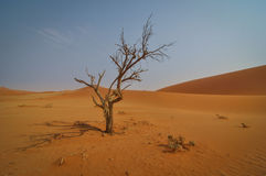 Dead Tree in Sossusvlei. A dead tree near Hiddenvlei in Sossusvlei in southern Namibia Royalty Free Stock Photography