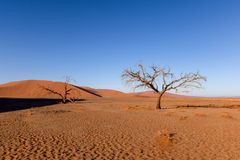 Dead tree in Sossusvlei near Sesriem in famous Namib Desert in Namibia, Africa. Beautiful red sand dunes, amongst the highest in the world, in the background Royalty Free Stock Image