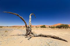 Dead tree in Sossusvlei near Sesriem in famous Namib Desert in Namibia, Africa. Beautiful red sand dunes, amongst the highest in the world, in the background Stock Photo