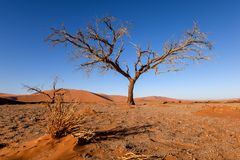 Dead tree in Sossusvlei near Sesriem in famous Namib Desert in Namibia, Africa. Beautiful red sand dunes, amongst the highest in the world, in the background royalty free stock photo
