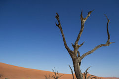 Dead Tree at Sossusvlei Salt Pan, Desert Landscape, Namibia. Dead Tree at Sossusvlei Salt Pan, Desert Landscape in Namibia Royalty Free Stock Photo