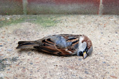 Dead tree sparrow by a brick wall Royalty Free Stock Photos
