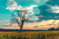 Dead tree standing alone royalty free stock image