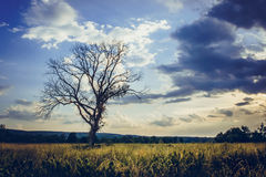 Dead tree standing alone royalty free stock photo