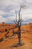 Dead tree standing in Bryce Canyon national park Royalty Free Stock Photos