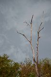 Dead tree standing. In forest before rain strom Stock Photo