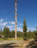 Dead tree standing (life and death). Dead pine tree standing surrounded by a few living younger ones Royalty Free Stock Image