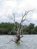 Dead Tree. A dead tree standing in the water off the coast of Pulau Ubin, Singapore Stock Image