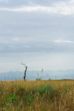 Dead tree in steppe Stock Images