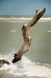 Dead Tree Still Standing. Old Rotting Tree Standing Tall on the Beach royalty free stock photo