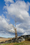Dead Tree and Stone Wall Vertical Royalty Free Stock Image