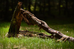 Dead tree stump in forest Stock Images
