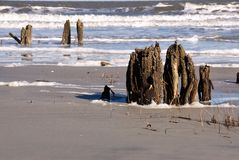 Dead Tree Stumps at Hunting Island Beach SC USA royalty free stock images