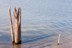 Dead Tree Stumps in Lake Stock Images